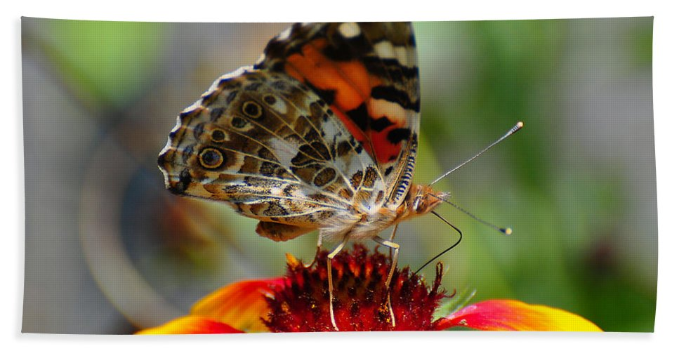 Butterfly Beach Towel featuring the photograph Painted Lady by Todd Hostetter