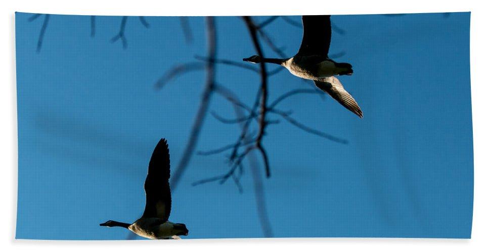 Bird Beach Towel featuring the photograph Pair Of Geese by Gaurav Singh