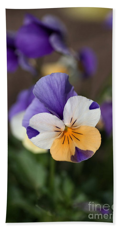 Pansy Beach Towel featuring the photograph Pansy by Joy Watson
