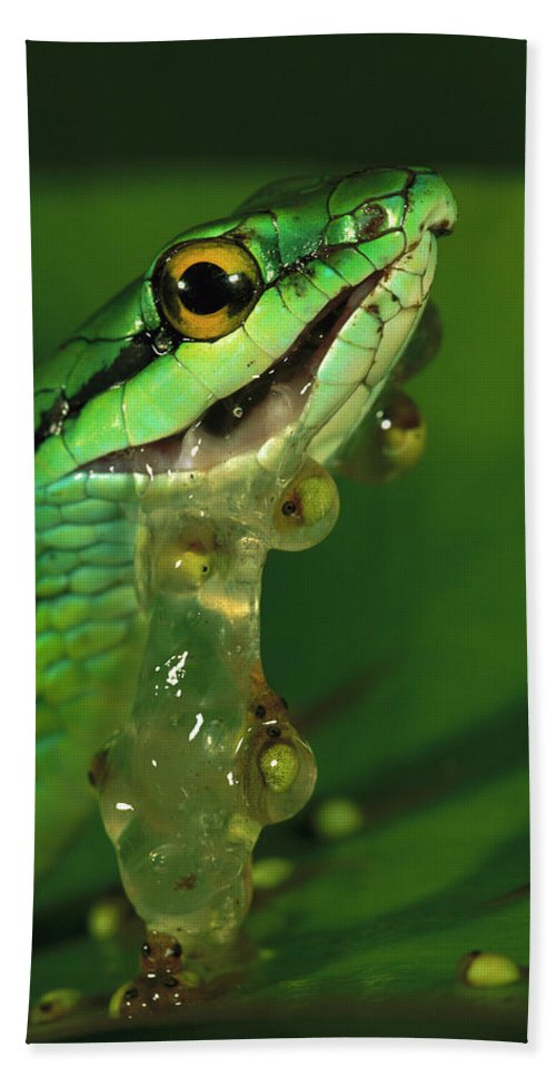 00760055 Beach Towel featuring the photograph Parrot Snake Eating Frog Eggs by Christian Ziegler