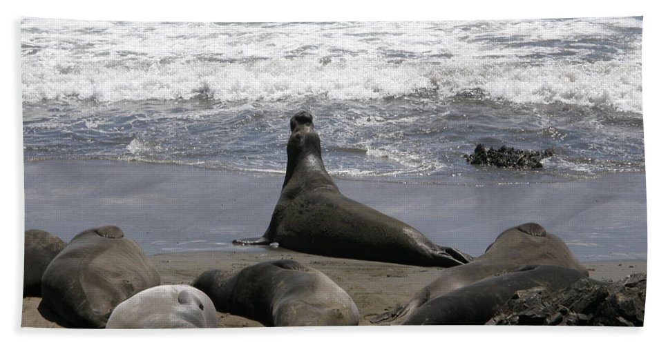 Elephant Seal Beach Towel featuring the photograph Party Animal by Bev Conover