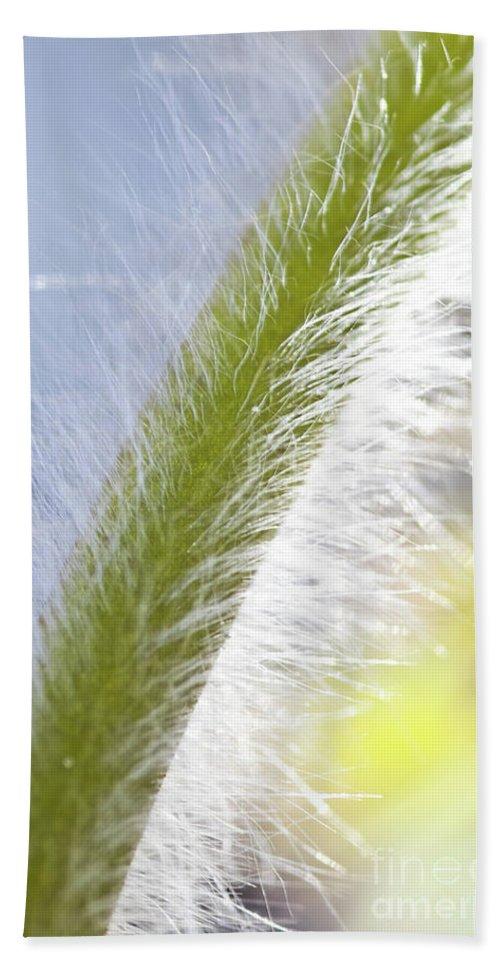 Pasqueflower Beach Towel featuring the photograph Pasqueflower Stem by Heiko Koehrer-Wagner