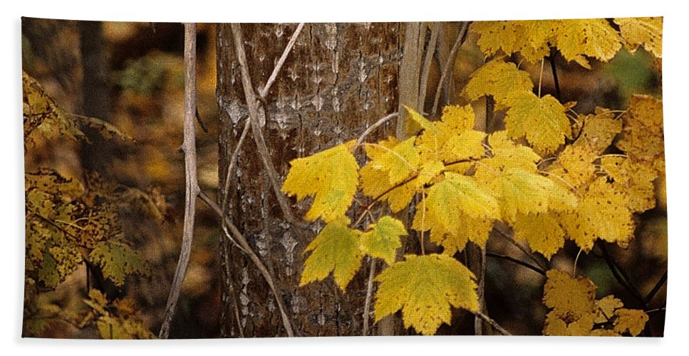 Maple Leaves Beach Towel featuring the photograph Patterns Of Fall by Sharon Elliott