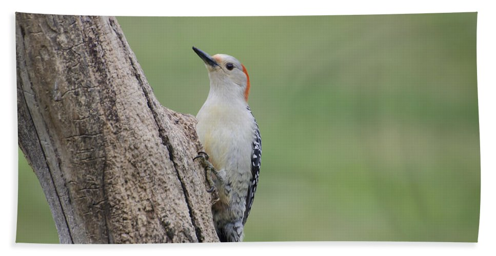 Woodpecker Beach Towel featuring the photograph Pecker by Heather Applegate