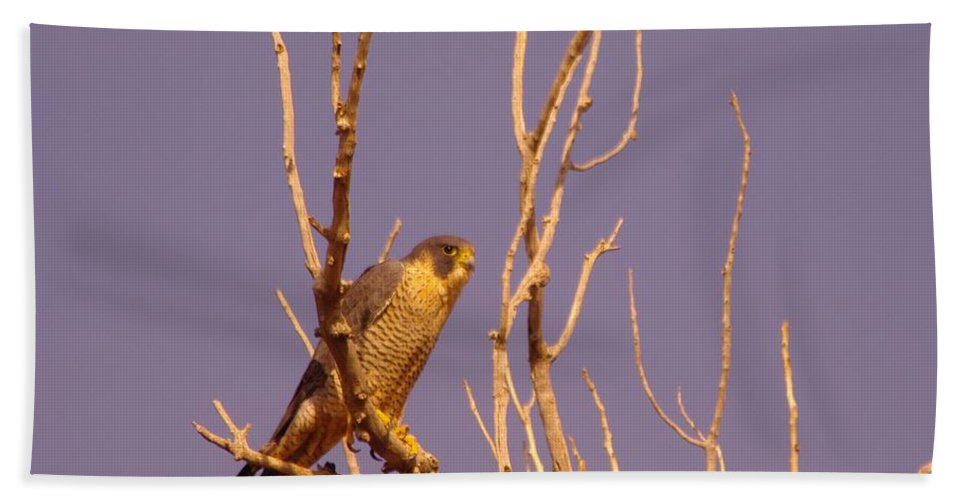 Birds Beach Towel featuring the photograph Peregrine Falcon by Jeff Swan