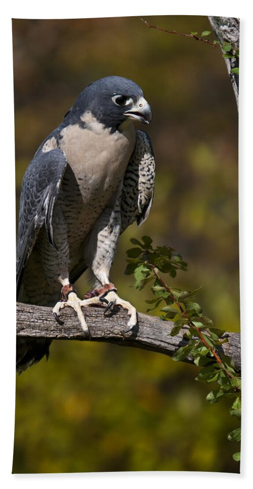 Peregrine Beach Towel featuring the photograph Peregrine Falcon by Paul Cannon