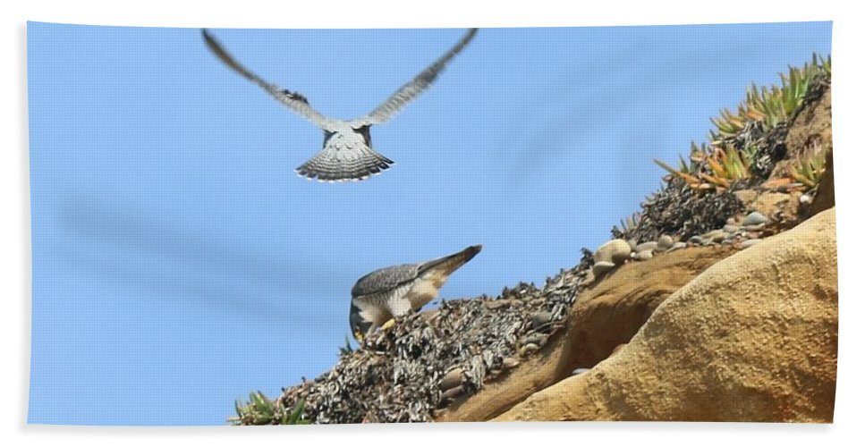 Peregrine Beach Towel featuring the photograph Peregrine Falcons - 2 by Christy Pooschke
