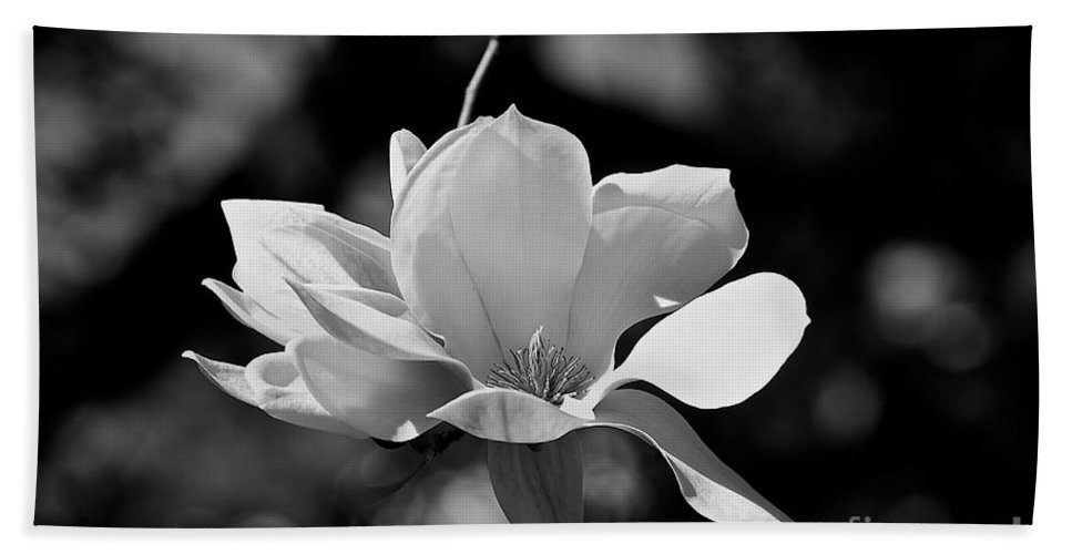 Black And White Beach Towel featuring the photograph Perfect Bloom Magnolia In White by Frank J Casella