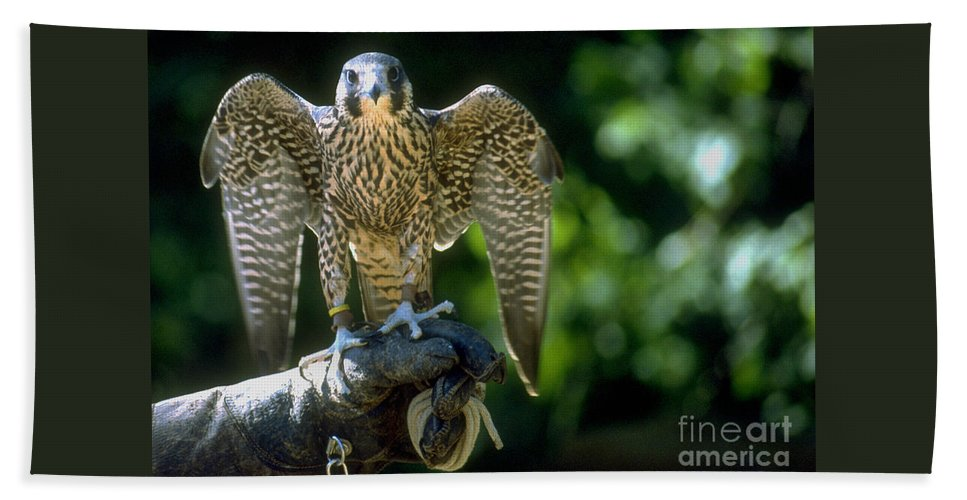 Bird Beach Towel featuring the photograph Perigrine Falcon by Gary Gingrich Galleries