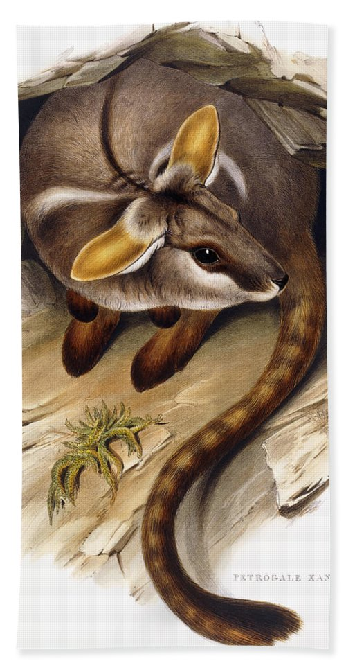 Wildlife Beach Towel featuring the painting Petrogale Xanthopus   Ch 991244 by English School