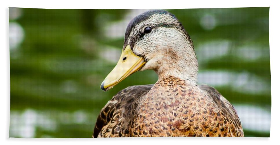 Mallord Beach Towel featuring the photograph Picture Perfect - Mallard Duck by Nikki Vig