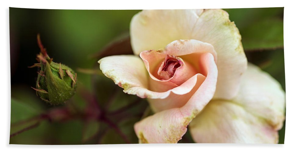 Bumble Bee Beach Towel featuring the photograph Pink And White Rose by Sennie Pierson