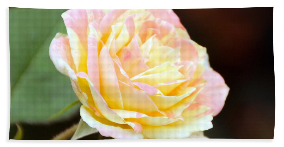 Pink And Yellow Stripped Rose Beach Towel featuring the photograph Pink And Yellow Rose by Elizabeth Winter