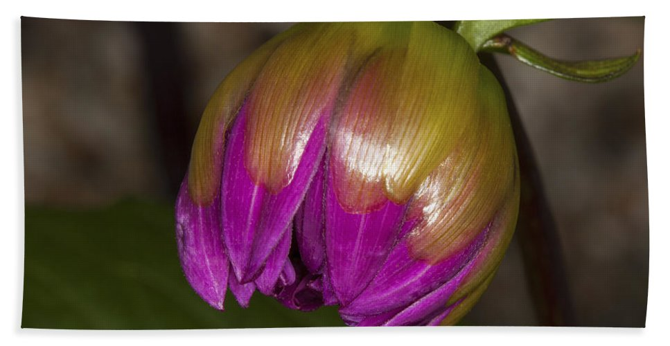 Beginnings Beach Towel featuring the photograph Pink Dahlia Bud by Diane Macdonald