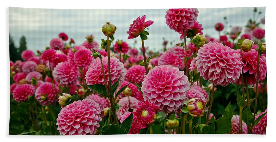 Dahlia Beach Towel featuring the photograph Pink Dahlia Field by Athena Mckinzie