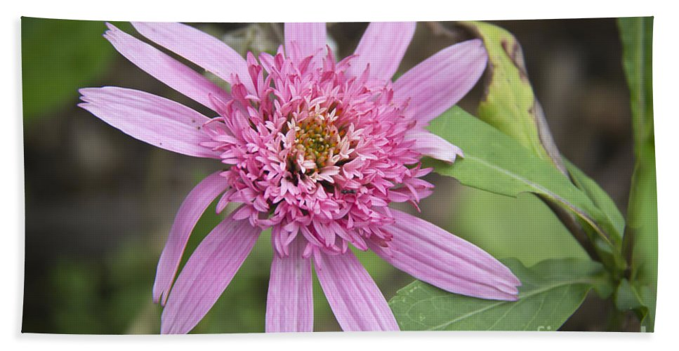 Pink Beach Towel featuring the photograph Pink Double Delight Echinacea by Teresa Mucha