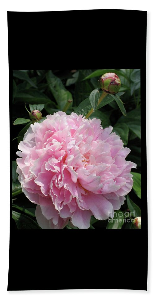 Peony Beach Towel featuring the photograph Pink Peony by Ann Horn