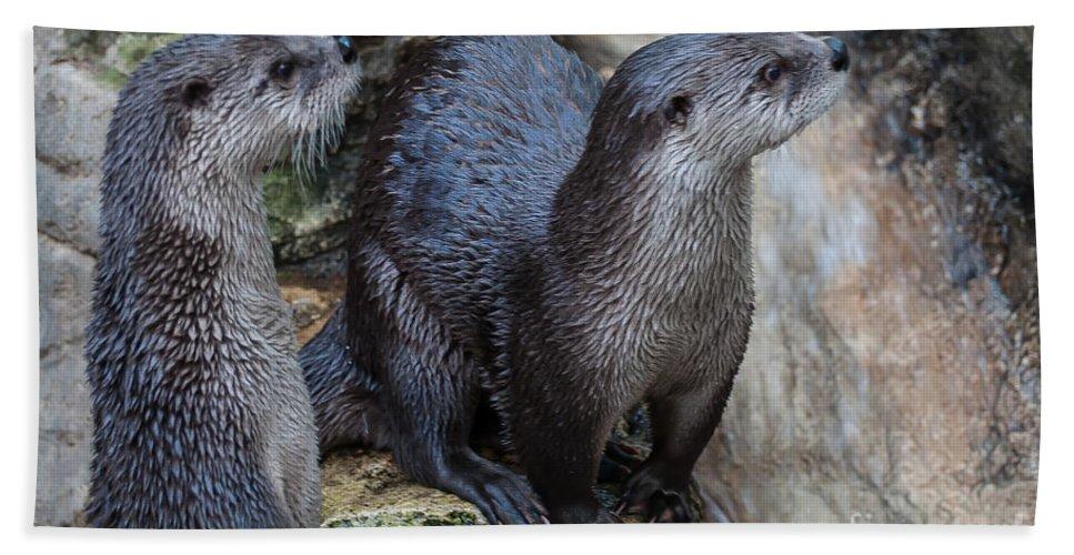River Otter Beach Towel featuring the photograph Playful Buddies by Bianca Nadeau