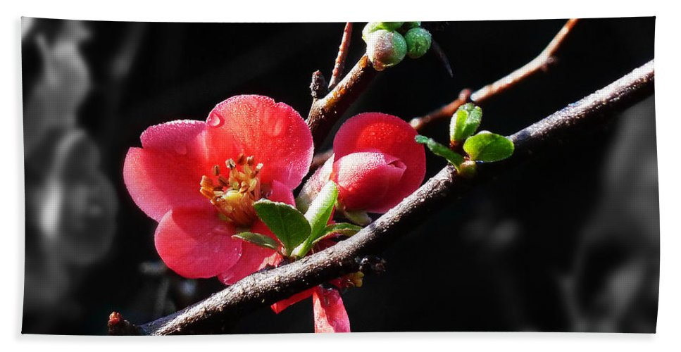 Morning Beach Towel featuring the photograph Plum Blossom 3 by Xueling Zou