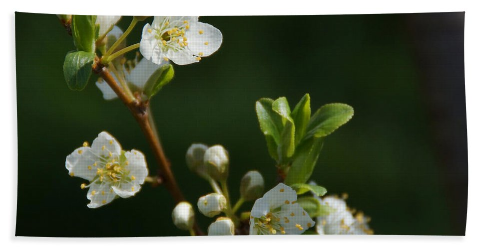Plum Beach Towel featuring the photograph Plum Blossoms by Mick Anderson