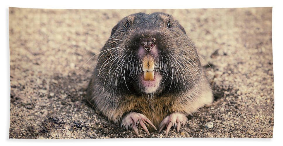 Foster City Beach Towel featuring the photograph Pocket Gopher Chatting by Angela Stanton