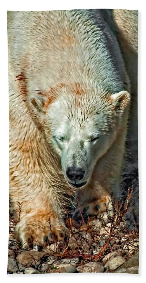 Polar Bear Beach Towel featuring the photograph Polar Bear by Steve Harrington