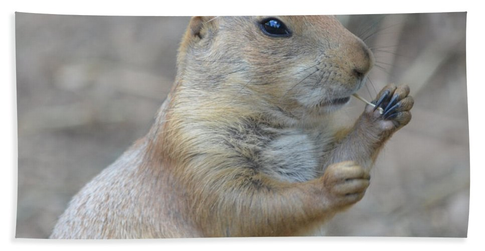 Prairie Beach Towel featuring the photograph Prairie Dog Cleaning His Teeth by Richard Bryce and Family
