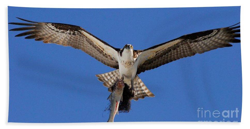 Osprey Beach Towel featuring the photograph Precious Cargo by Quinn Sedam