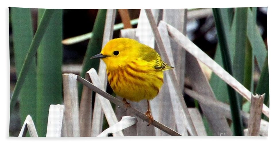 Yellow Warbler Beach Towel featuring the photograph Pretty Little Yellow Warbler by Elizabeth Winter