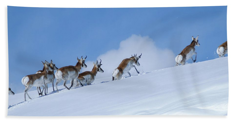American Antelope Beach Towel featuring the photograph Pronghorn by Kim Upshaw
