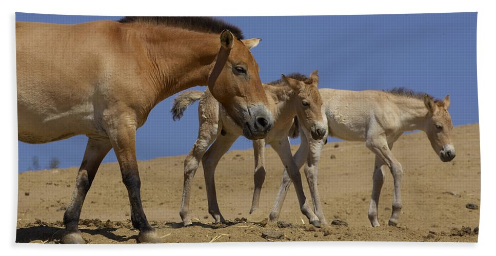 Feb0514 Beach Towel featuring the photograph Przewalskis Horse With Two Foals by San Diego Zoo