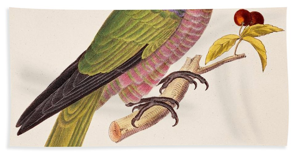 Bird; Parrot; Exotic; Colourful; Bright; Feathers; Plumage; Perched; Perch; Branch; Study; Drawing; Ornithology; Ornithological; Brazilian; South American Beach Towel featuring the painting Psittacus Accipitrinus by German School