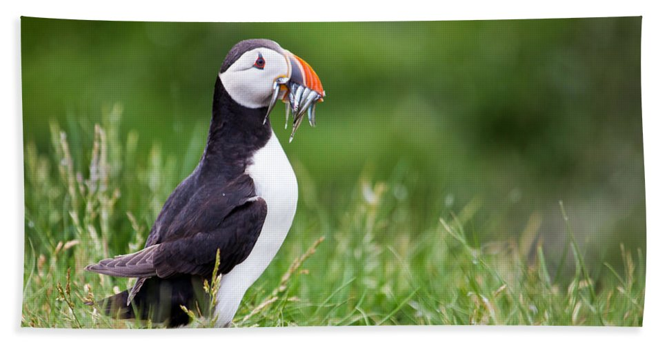 Atlantic Puffin Beach Towel featuring the photograph Puffin With Sandeels by Liz Leyden