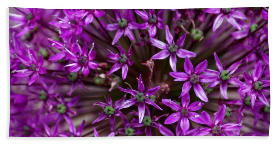 Nature Beach Towel featuring the photograph Purple Allium by Tikvah's Hope