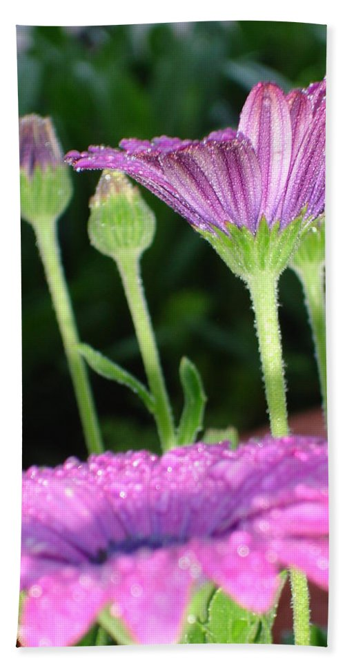 Birthday Beach Towel featuring the photograph Purple And Pink Daisy Flower In Full Bloom by Tracey Harrington-Simpson