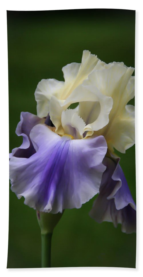 Bearded Beach Towel featuring the photograph Purple Cream Bearded Iris by Patti Deters