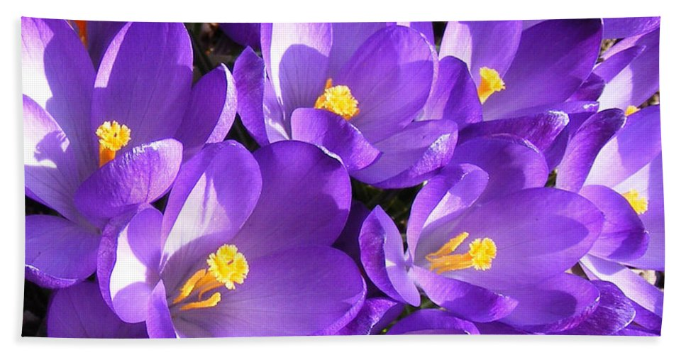 Purple Crocus Beach Towel featuring the photograph Purple Crocus Spring Welcome by Barbara Griffin