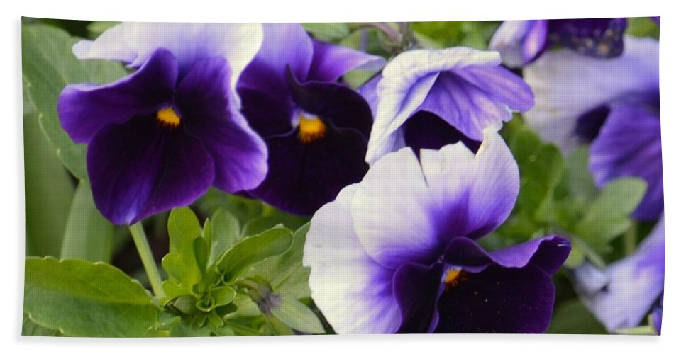 Purple Pansy Melody Beach Towel featuring the photograph Purple Pansy Melody by Maria Urso