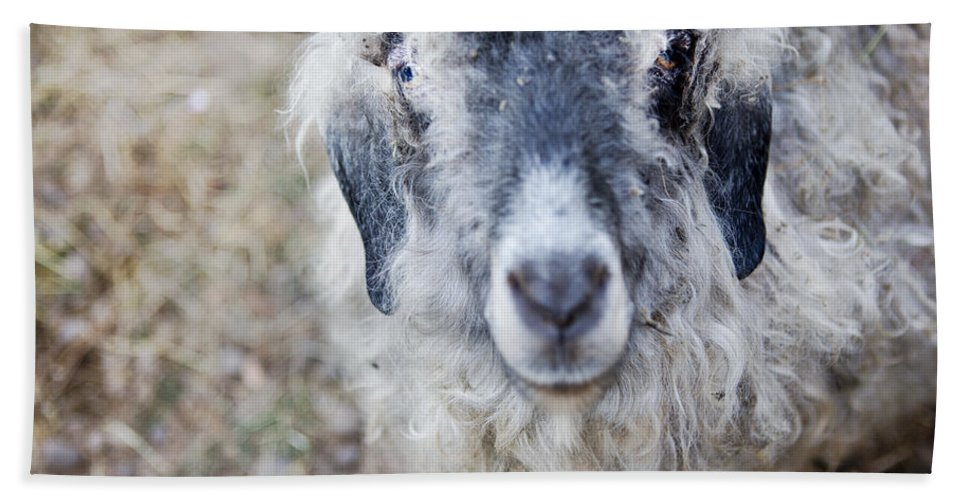 Goat Beach Towel featuring the photograph Raggedy Goat by Belinda Greb