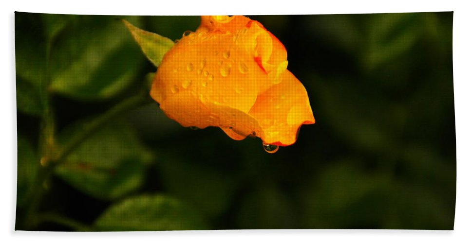 Drops Beach Towel featuring the photograph Raindrops On A Yellow Rose by Jeff Swan