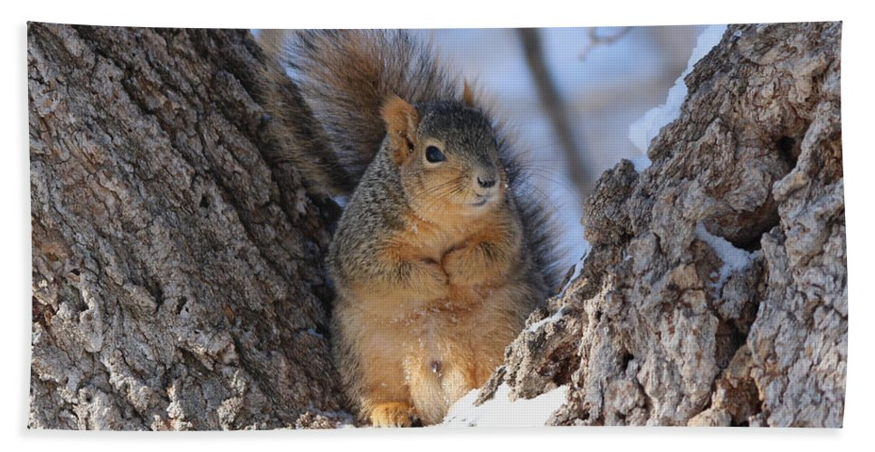 Squirrel Beach Towel featuring the photograph Ready To Rumble by Lori Tordsen