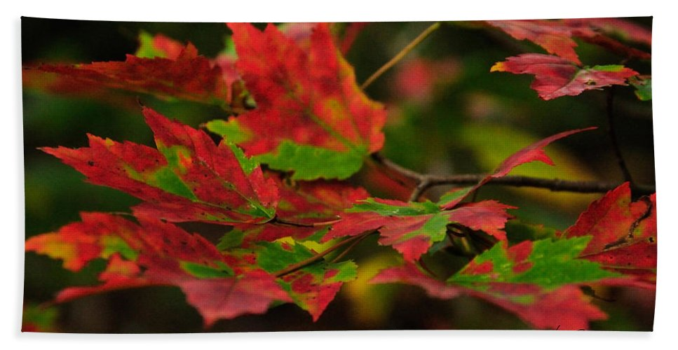 Red Beach Towel featuring the photograph Red And Green Autumn Leaves by Mark Valentine