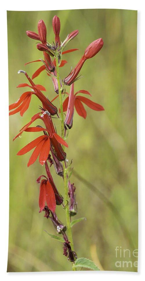 Obelia Cardinalis Beach Towel featuring the photograph Red Cardinal Flower by Les Palenik