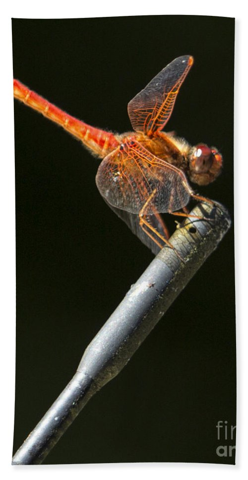 Red Dragonfly Beach Towel featuring the photograph Red Dragonfly On An Antenna by Belinda Greb