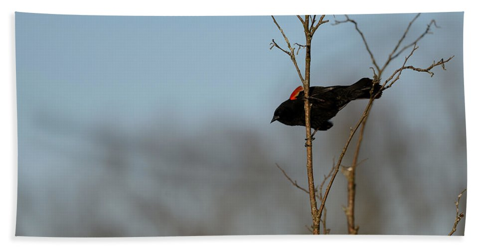 Red-winged Blackbird Beach Towel featuring the photograph Red Epaulets by Ian Ashbaugh
