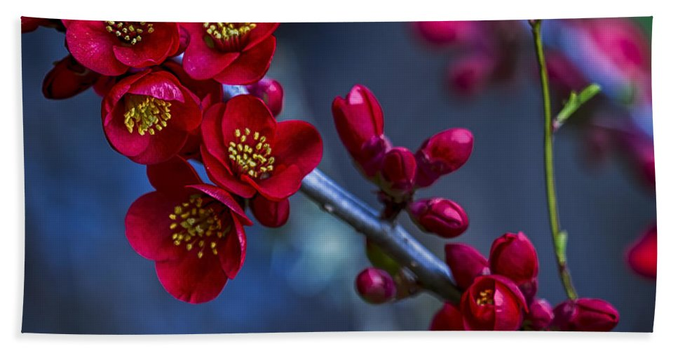 Quince Blossom Quince Flower Beach Towel featuring the photograph Red Flowering Quince by Belinda Greb