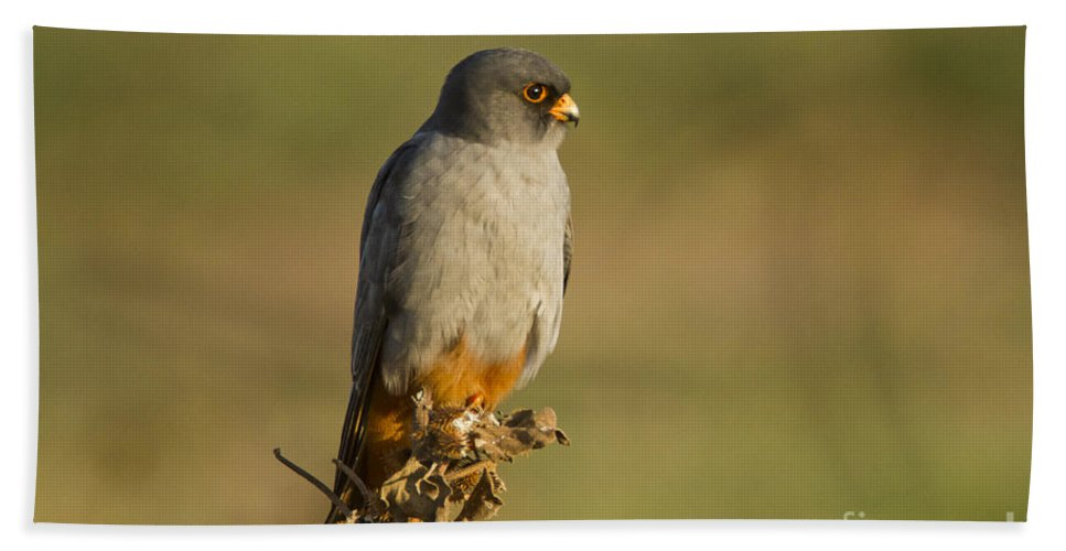 Bird Of Prey Beach Towel featuring the photograph Red Footed Falcon Falco Vespertinus 4 by Eyal Bartov