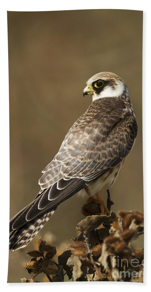 Bird Of Prey Beach Towel featuring the photograph Red Footed Falcon Falco Vespertinus by Eyal Bartov
