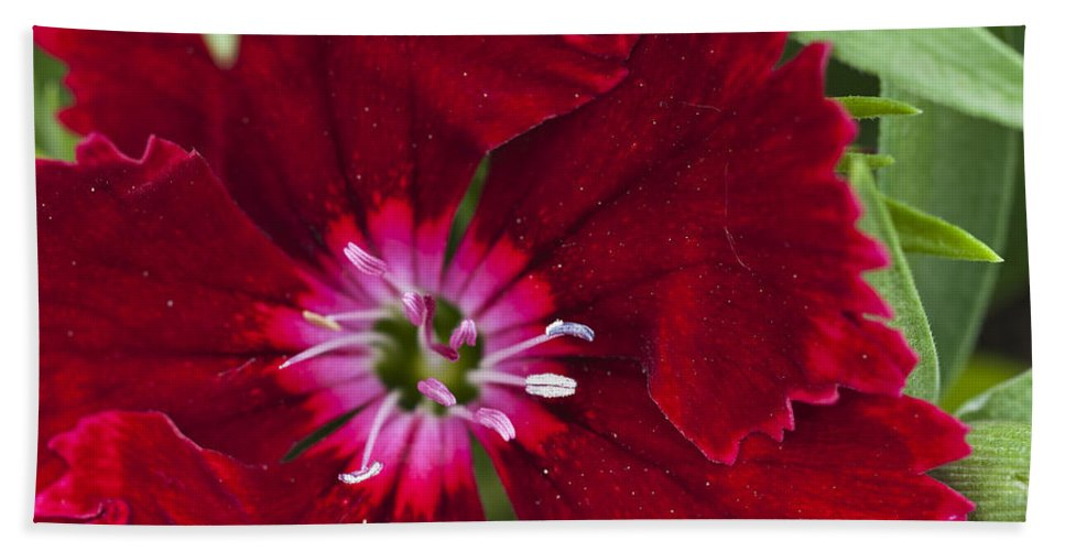 Red Geranium Beach Towel featuring the photograph Red Geranium 1 by Steve Purnell