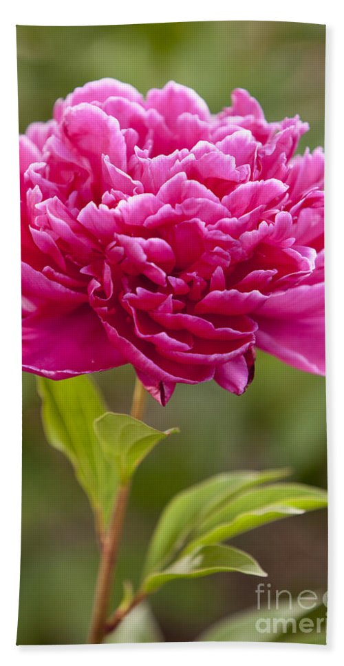 Red Beach Towel featuring the photograph Red Peony by Brian Jannsen